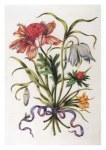 Merian maria sibylla anemone fritillari und krokus